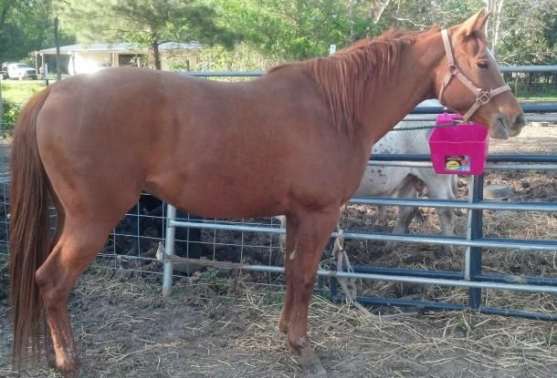 APHA roping horse for sale or trade | ArkLaTexOK Classified Ads and Events