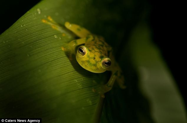 glass frog was photographed in the Monteverde cloud forest in Costa Rica by cabin attendant and photographer Nic Reusens.