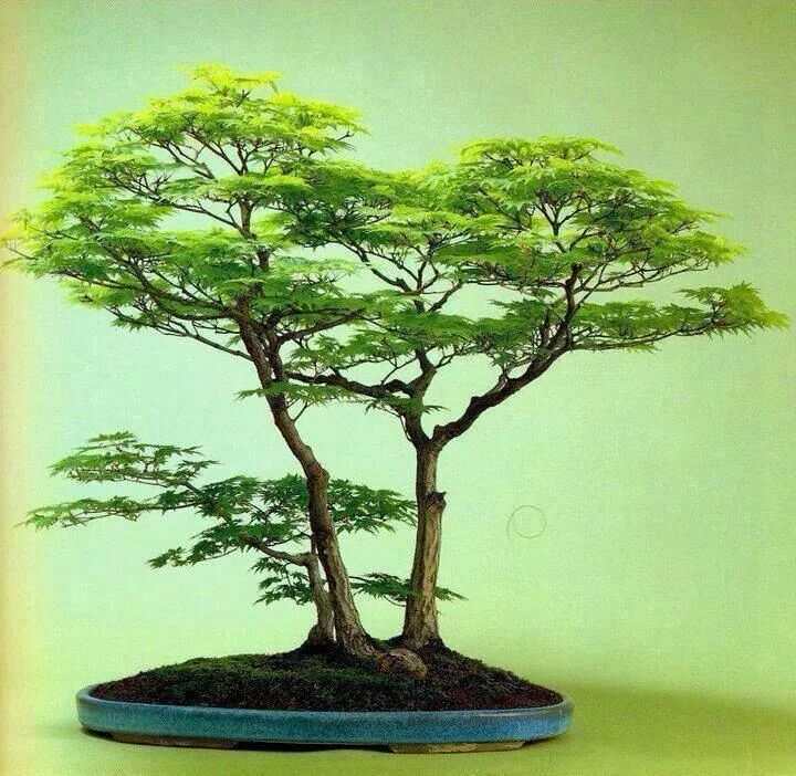 Plus de 1000 id es propos de bonsai and terrariums sur for Bonsai de jardin