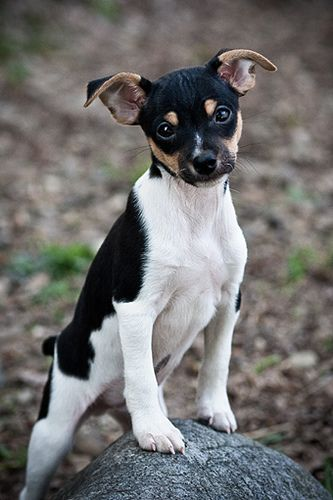 Rat terrier puppy with a major case of the cuties!