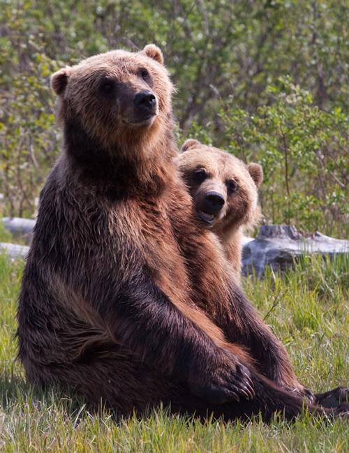 Alaska Wildlife Conservation Center Bears.