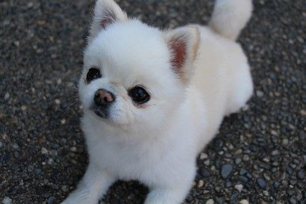 Sweetest Puppies: Tiny, Teacup and Toy! ow.ly/rb5K1 #dogs #tinydogs #puppy #toydogs #teacupdogs #chihuahua #pomeranian