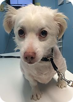 Oak Ridge, NJ - Second Chance Pet Adoption League - American Eskimo Dog/Pomeranian Mix. Meet Johnny, a dog for adoption. http://www.adoptapet.com/pet/14394347-oak-ridge-new-jersey-american-eskimo-dog-mix