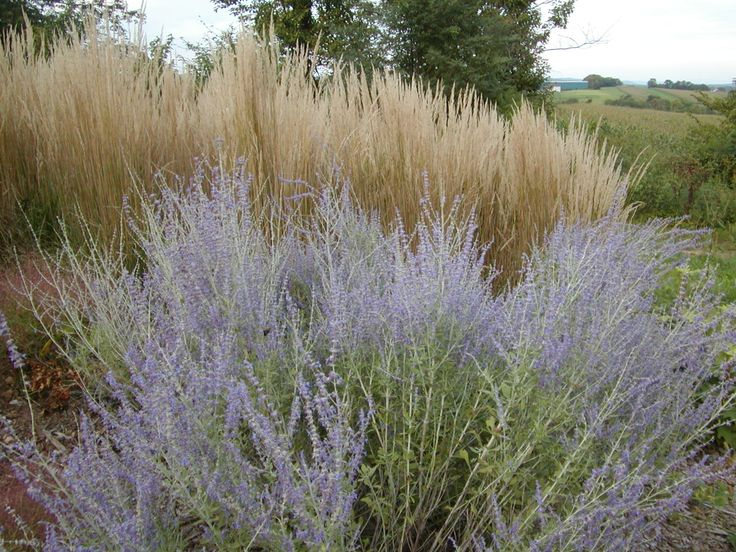 55 best images about karl foerster in my garden on for Mass planting grasses