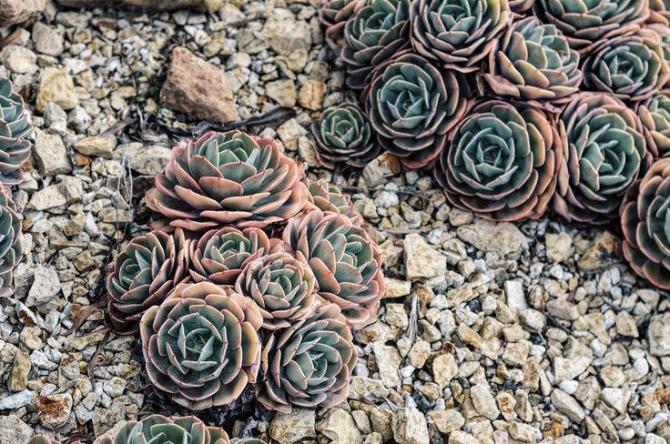 Advice from a cactus: 'stay sharp!!' Royal Tasmanian Botanical Gardens 4.15pm Nikon D3200      #Tasmania #Travel #DiscoverTasmania #tasmaniagram #tassiepics #tasmaniaparks #seetasmania #tassie #seetasmania #tassietravel #Australia  #eastcoasttasmania #capetourville #Hobart #austravellermag #nikon #nikond3200 #exploreaustralia #australia_shotz #sociallifeaustralia #wanderlust #clubnikon #nature  #royalbotanicalgardens