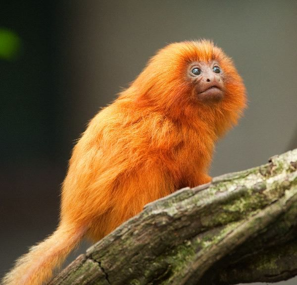 http://bioexpedition.com/wp-content/uploads/2012/04/Golden_Lion-Tamarin-Infant.jpg
