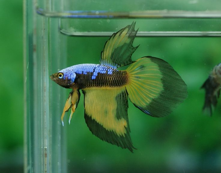 17 best images about fresh water tank betta fish on for Yellow fish tank water