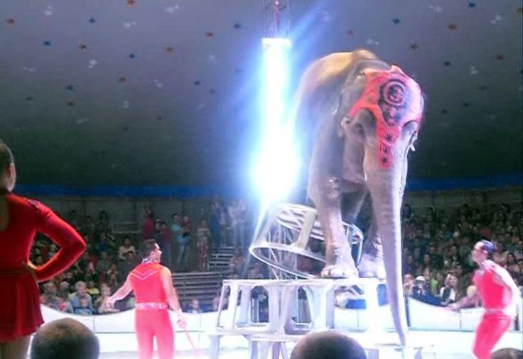 YouTube: Elefantes ayudan a compañero que cae en acto circense