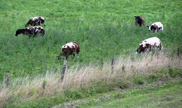 cows, the Netherlands, landscape