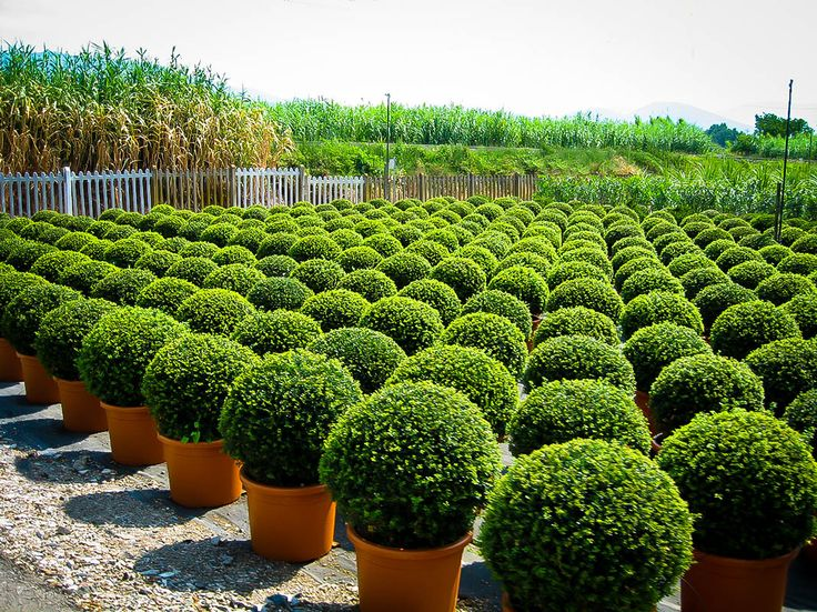 Buy American Boxwood Online. Arrive Alive Guarantee. Free Shipping On All Orders Over $99. Immediate Delivery.