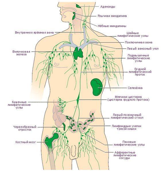 Лимфатическая система человека (конспект лекции Бутаковой О.А)   Массаж.ру