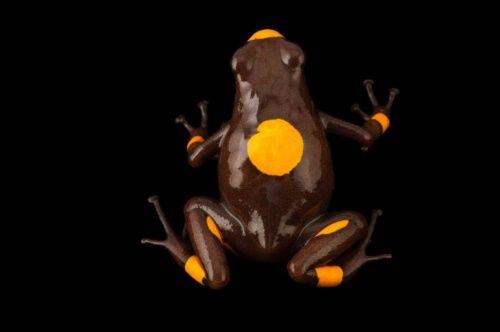 50年で200種が絶滅、愛すべきカエル写真13点   ナショナルジオグラフィック日本版サイト