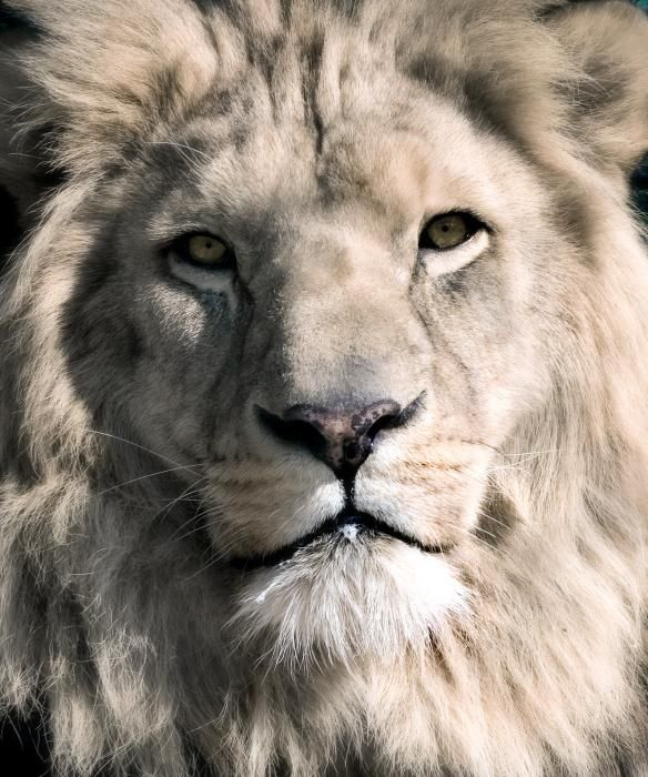 99 best images about white lions on pinterest the white in south africa and the lion. Black Bedroom Furniture Sets. Home Design Ideas