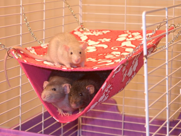 rat hammock can also make a good level and this kind of hammock can be made with a small child's shirt and safety pins or zip ties.