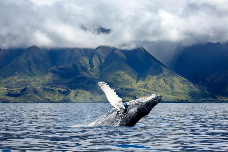 Picture of a humpback whale in Maui, Hawaii