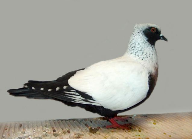 Danish Suabian is a breed of fancy pigeons that comes in Silver, Blue, Mealy, Black, Red, Yellow and is either plain-head or peak crested.