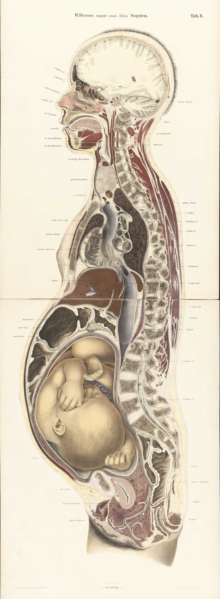 pregnant female body cross-section, by Wilhelm Braune, from Topographisch-anatomischer Atlas : nach Durchschnitten an gefrornen Cadavern, 1867-1872