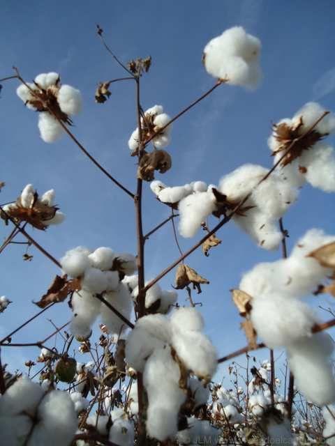 algodon-rama-cosecha http://www.viviendoelcampo.com/el-algod%C3%B3n-la-rosa-blanca-del-sur.html