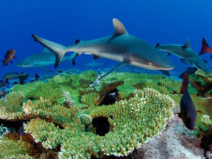 """Tubarões cinzentos do recife e anchovas vermelhas pairam acima do coral, esperando peixes emergirem. Enric Sala, ecologista marinho, diz """"... que devido a sua abundância e consequente competição por comida, tubarões e anchovas no Recife Kingman estão sempre à beira da fome"""". Recife Kingman é parte de uma cadeia de atóis do Pacífico e Ilhas Line, do Equador ao sul do Havaí.  Fotografia: Brian Skerry…"""