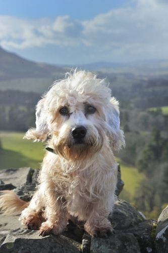 ༺✿༺ Dandy Dinmont Terrier, Scotts View. (what a precious little face)