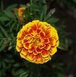 calendula: La caléndula son flores naranja y amarillas con sabor un poco ácido. Esta planta requiere pleno sol y prefiere un suelo con buen drenaje. Riegue semanalmente durante el tiempo seco y abone mensualmente. La caléndula florece continuamente en verano hasta el otoño si las flores se cosechan de una a tres veces por semana.