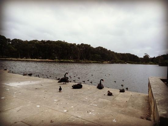 Black Swans in Centennial Park, Sydney