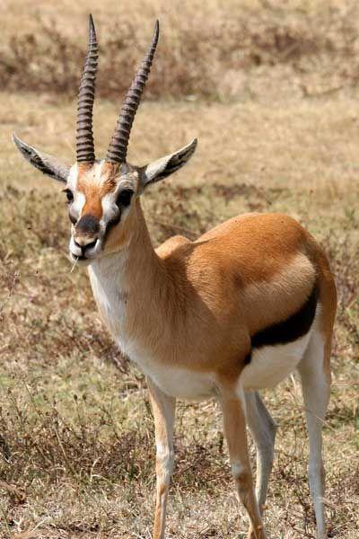 Mammifères: Gazelle de Thomson - Frawsy