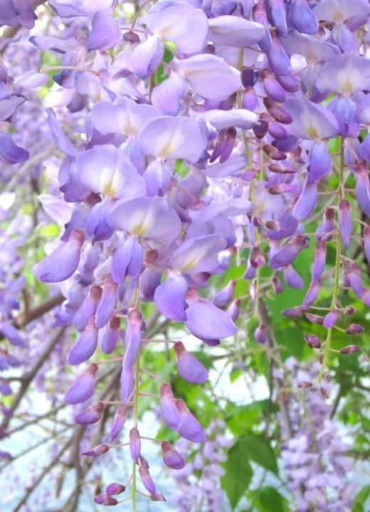 Wisteria flowers bloom in the spring along Lady Bird Lake in downtown Austin Texas - SoloTripsAndTips.com