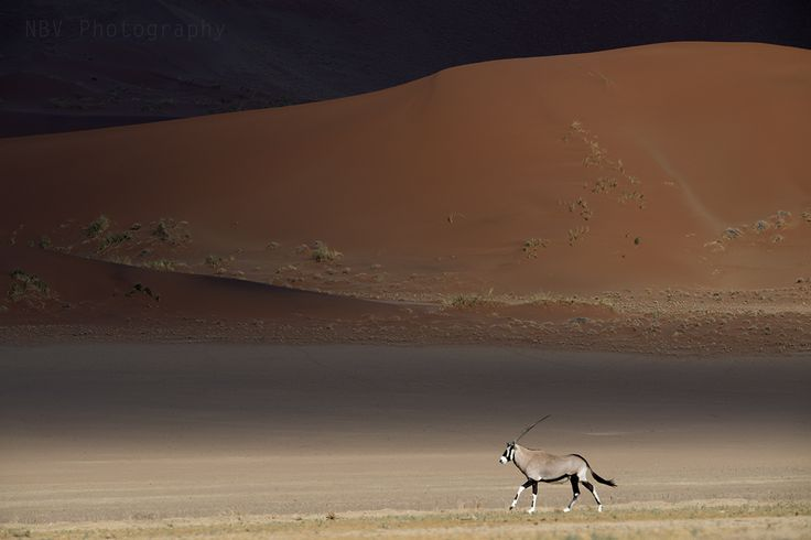 View this image in full screen to explore its real beauty & feel free to share the image.  This was shot at Sossusvlei, #Namibia. Oryx in motion against the colours of the desert, I had to wait for hours to get to see the Oryx hustle through the sand dunes. It was very important to position according to the light and was lying flat on the ground to make this image.  #Wildlife #Photography #NBVphotography #Nature #Adventure #Travel