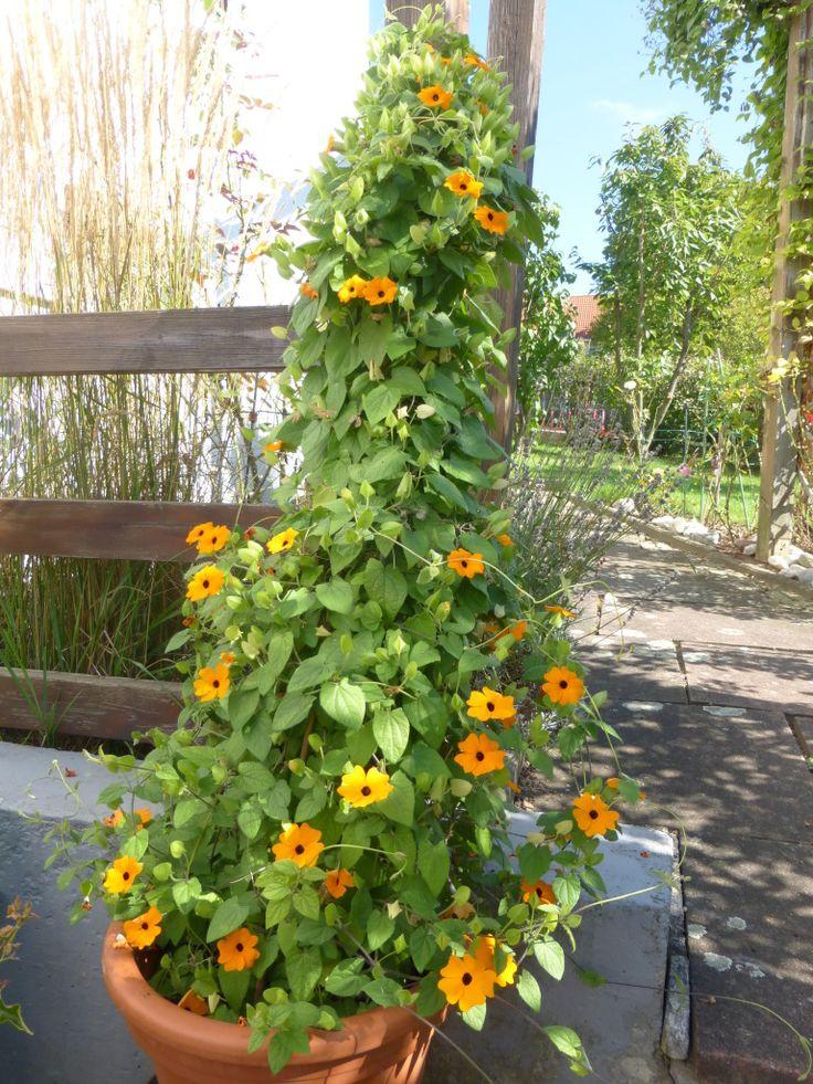 Mehrere Pflanzen der Schwarzäugige Susanne in einem Blumentopf.