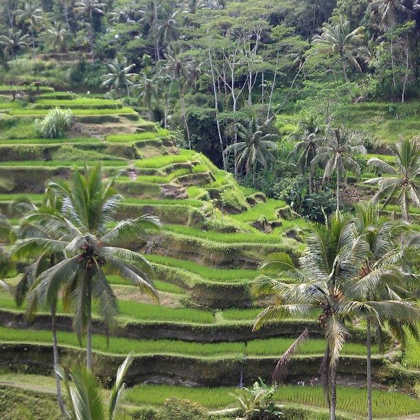 Tegallalang Rice Terraces in Gianyar, Bali - Tegalalang is a place where you can see the beauty of the landscape of paddy fields and impressive (rice terrace fields).