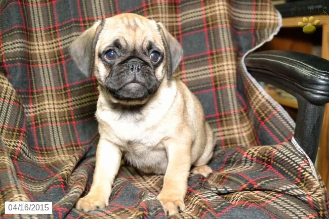Puggle Puppy for Sale in Ohio