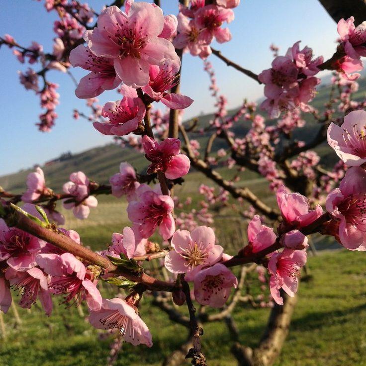 Pesco in fiore #nonsolovino #nonsolowine #instalanghetti #igerslanghe #instawine #wine #ig_piemonte #ig_cuneo #paesaggidivini #loves_united_cuneo #nofilters #fratelliaimasso #dianodalba #langhe #langheunesco #unesco