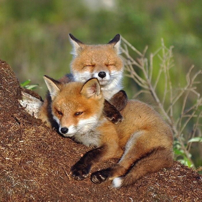 Red Fox Cubs by Johnny Olsson