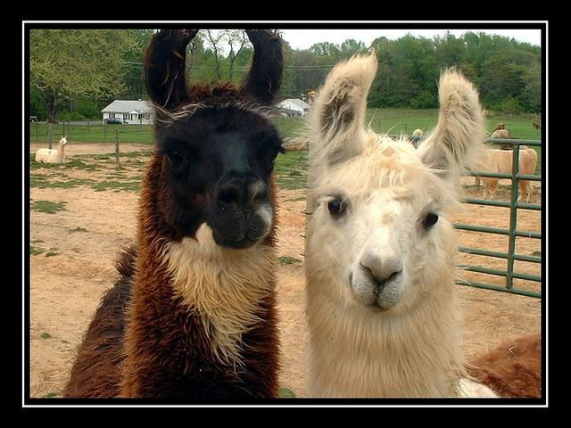 560 Best Llamas & Alpacas Images On Pinterest