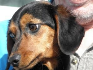 Becky is an adoptable Dachshund Dog in Mississauga, ON. Becky is s1 year old and weighs 12 lbs. What a pretty girl! Becky is as beautiful on the inside as she is on the outside. She is VERY VERY sw...