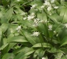 Flor Salvaje Británica - Ajo de Oso - Ajo Salvaje 100 Semillas - Comestible