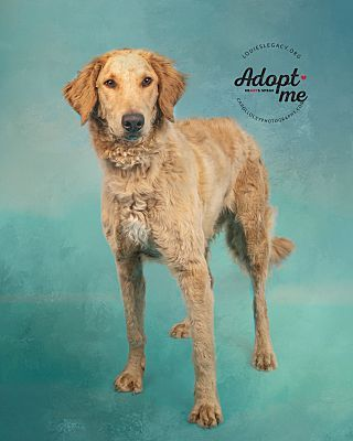 Cincinnati, OH English Sheepdog. Meet Cody a Pet for