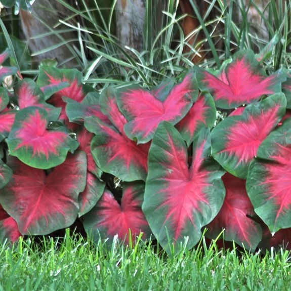 Florida Cardinal Caladium - There's no way to ignore these flashy red hearts, beaming out from across the yard. Florida Cardinal is a relatively new caladium that's disease-resistant and vigorous. Give it warm soil and plenty of moisture, and it will reward you with months of carefree color. Thrives in shade, part-shade or full sun in the #garden.