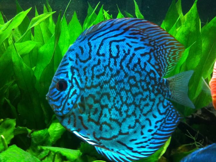 ... Discus on Pinterest Discus fish, Tropical fish and Colorful fish