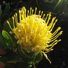 Image result for white protea bushes