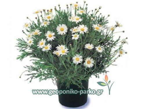 Ανθόφυτα - Πολυετή ανθοφόρα : Μαργαρίτα θάμνος - Αργυράνθεμο φυτό - Daisies