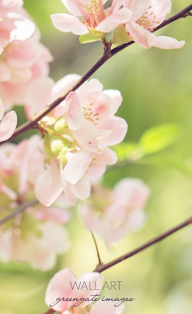 Flowering quince blossoms - light pink/peach!
