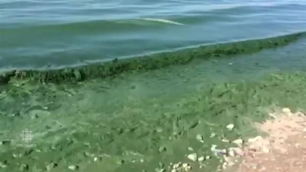 Algae blooms have left Hillside Beach caked in a thick, green sludge.