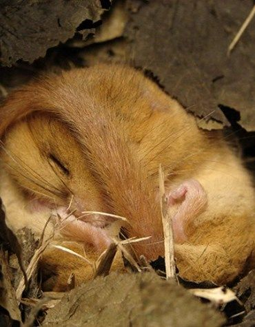 A dormouse's body weight fluctuates dramatically before and during hibernation (Photo: WTML)