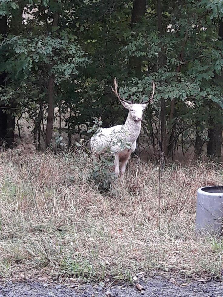 """""""Prawdziwy ewenement"""" i """"wielka rzadkość"""". Oko w oko z jeleniem albinosem - Polska w Kontakt 24"""