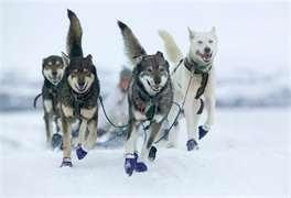 Look out for our Swedish Husky experience.Sled Dogs,  Dogs Sleigh, Siberian Husky, Juneau Alaska, Alaska Dogs,  Dogs Sled, Beautiful Animals, Happy Dogs, Husky Dogs