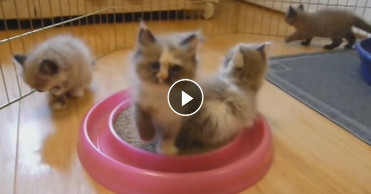 Ragamuffin Kittens Playing►►http://lovable-cats.com/ragamuffin-kittens-playing/?i=p