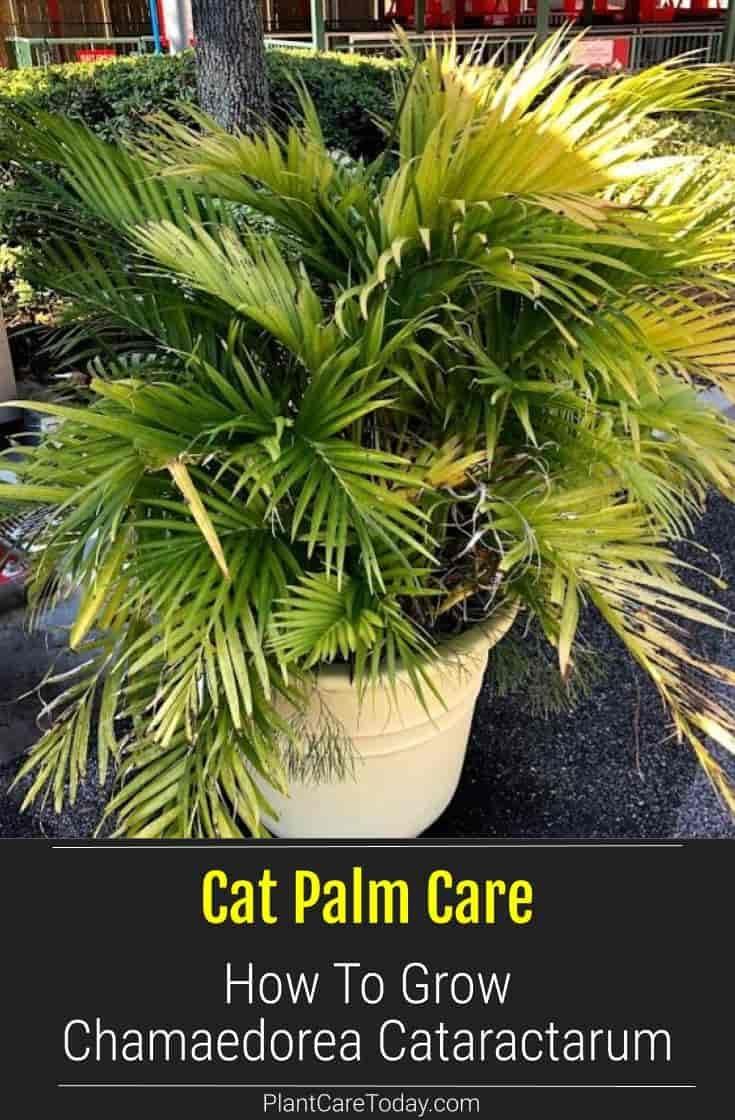 Cat palm care how to grow chamaedorea cataractarum in