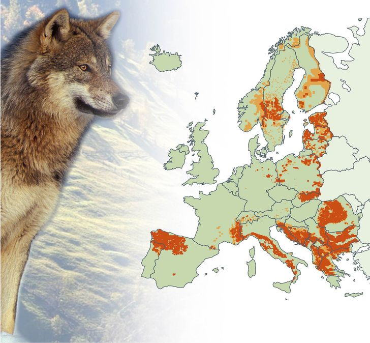 Map distribution of the eurasian wolf in europe 2010 2012maps map distribution of the eurasian wolf in europe 2010 2012maps for brown bear wolverine and lynx in comments map world information pinterest publicscrutiny Image collections